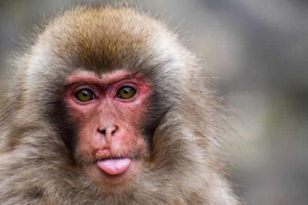 Abe, chimpanse, bavian, tunge, øjne, pels, sneabe